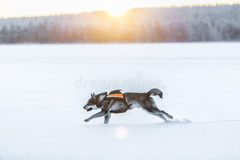 Swedish Elkhound stock photography