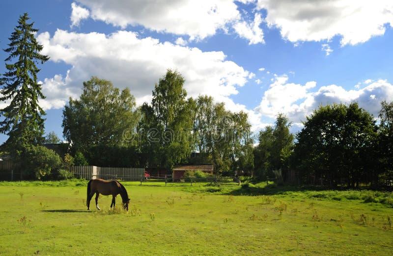 Swedish farm with arabian horse royalty free stock image
