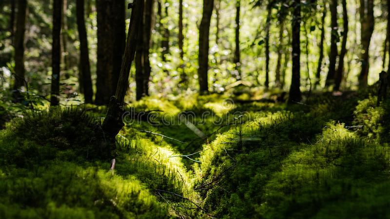 Swedish forest with penetrating sunlight wallpaper royalty free stock photo