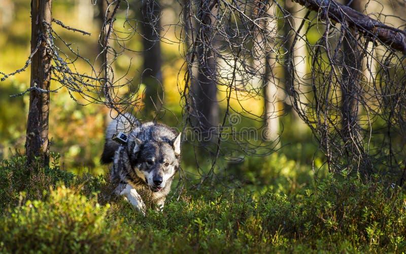 Swedish Moosehound stock photos
