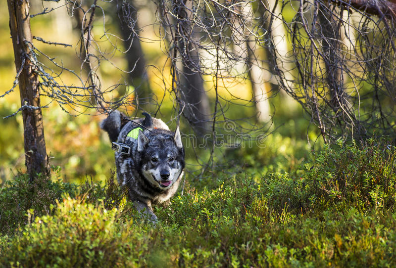 Swedish Moosehound royalty free stock photos