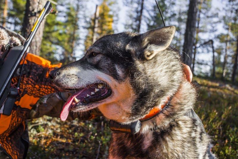 Swedish Moosehound stock photography