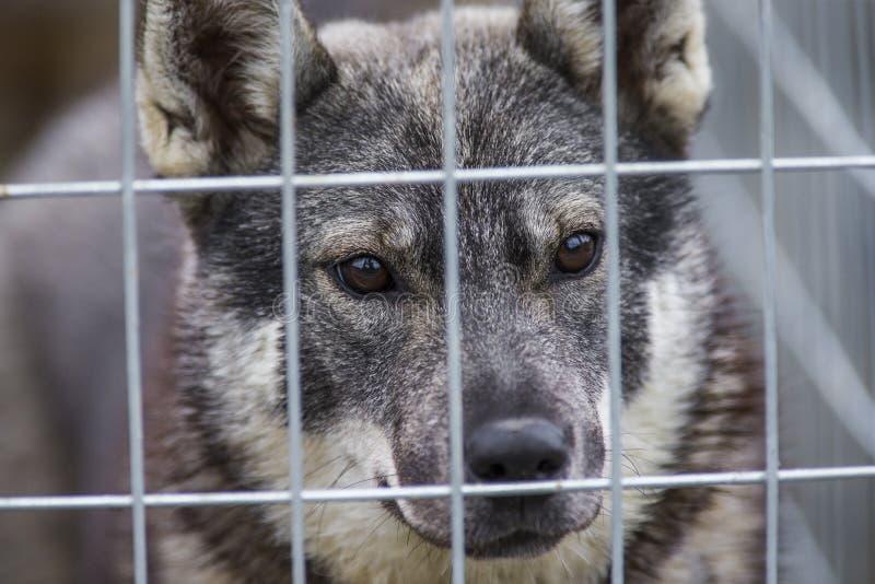 Swedish Moosehound royalty free stock photo