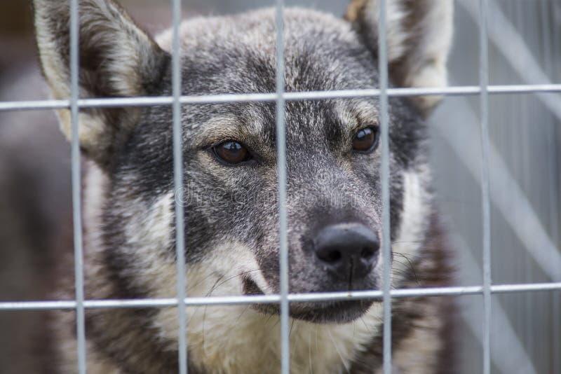 Swedish Moosehound royalty free stock photography