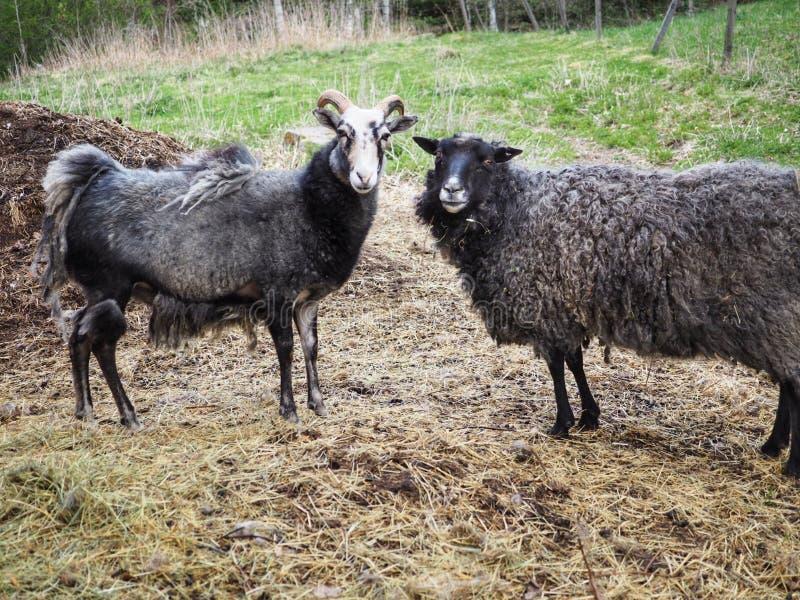 Swedish sheep. One Gute sheep and one Gotlands sheep together. Swedish sheep ont one gute gotlands together farm farming animal animals ram wool beautiful royalty free stock photo