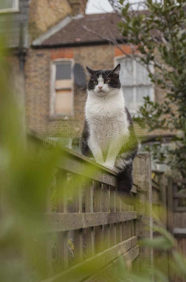 Sweepy - biały i czarny puszysty kot na drewnianym ogrodzeniu w ogródzie w Londyn zdjęcia stock