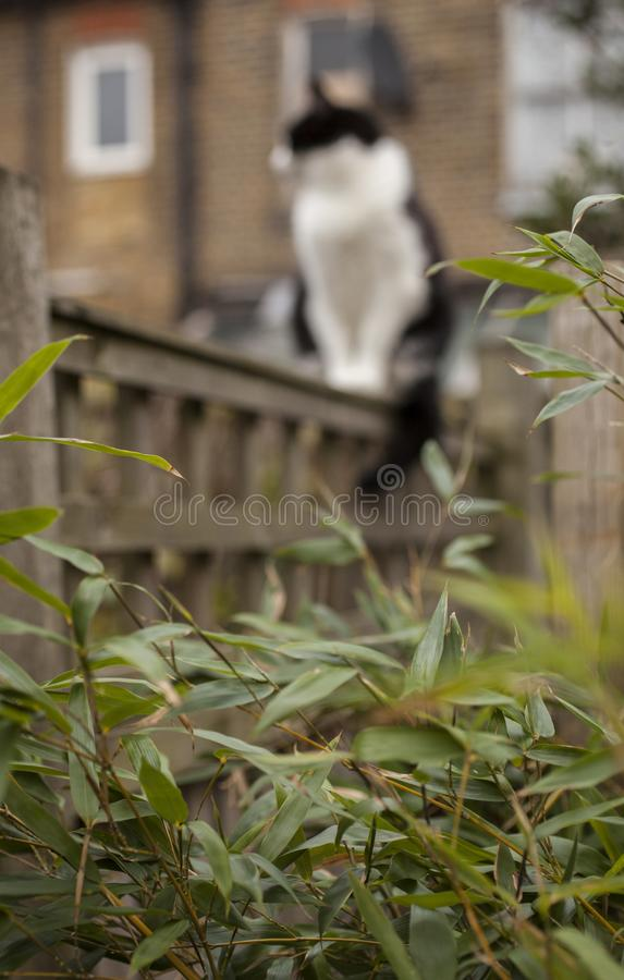 Sweepy - a fluffy cat seen trough some green bamboo leaves. royalty free stock photography