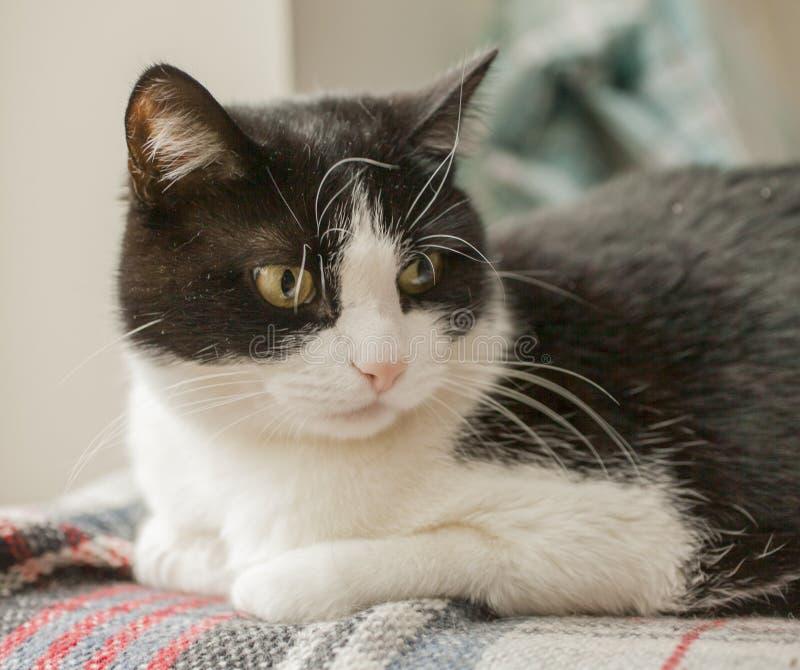 Sweepy, gato blanco y negro - mintiendo en el sol fotos de archivo libres de regalías