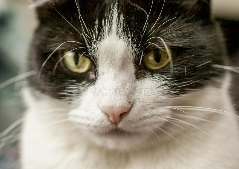 Sweepy, Schwarzweiss-Katze - Nahaufnahme einer Nase und der Bärte stockbild