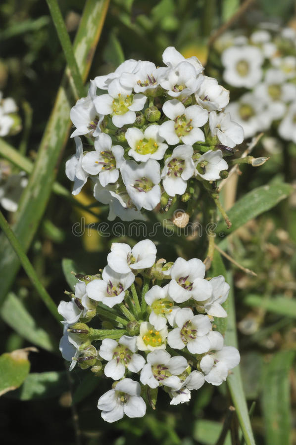 Download Sweet Alison stock photo. Image of nature, flower, white - 28118258