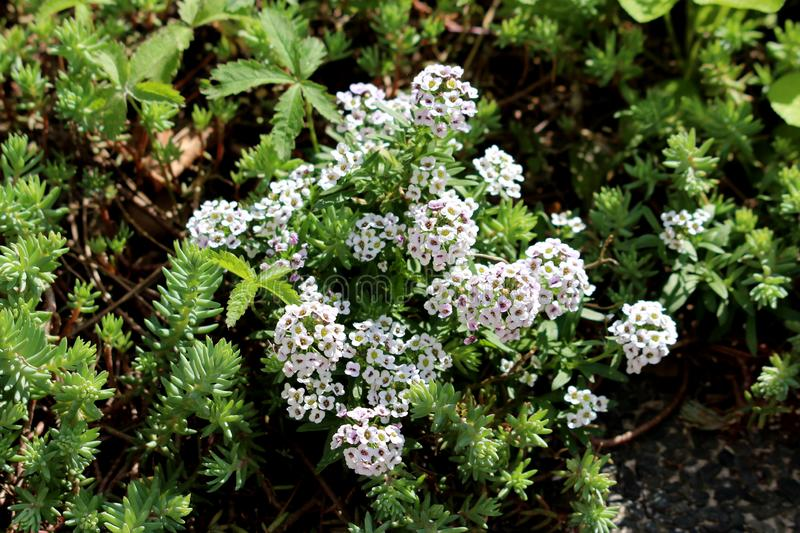 Sweet alyssum or Lobularia maritima low growing annual flowering plants with very branched stems containing dense clusters of royalty free stock photos