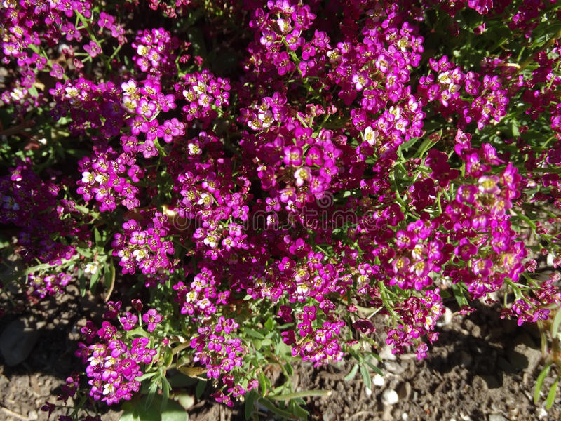 Sweet alyssum, Sweet alison, Lobularia maritima. Low growing garden ornamental with white, pink to purple flowers in corymbs, suitable for beds and pots stock images