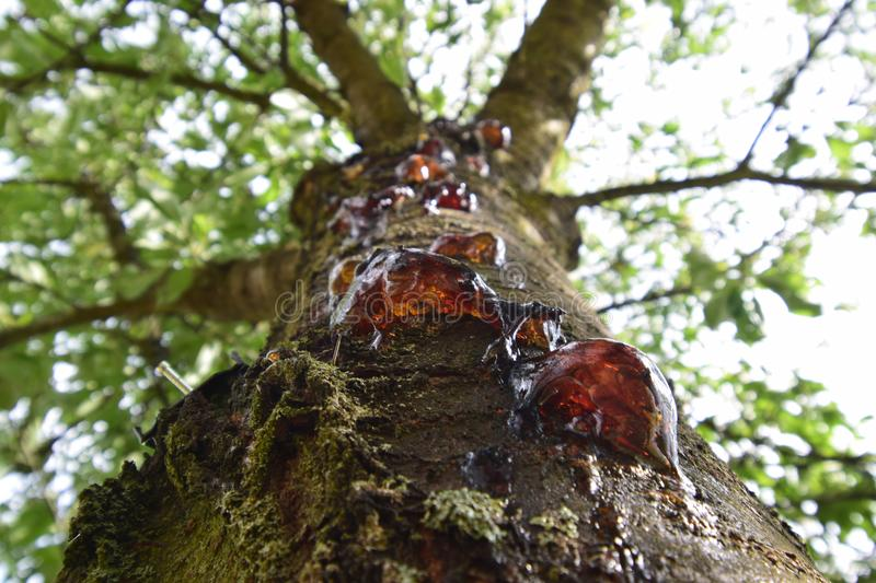 Sweet amber tears of the cherry tree. Amber colored juice of the cherry tree is appearing on the tree trunk due to the cut branches royalty free stock image