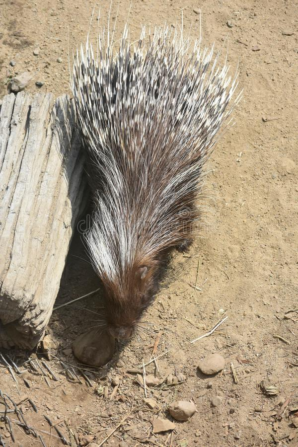 Cute american rodent with brown prickly quills. Sweet american rodent standing next to a log royalty free stock photography