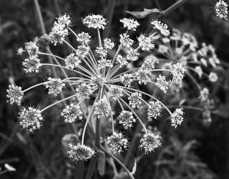 Sweet angelica. Flower head, Beacon FGell Country Park, Lancashire royalty free stock images