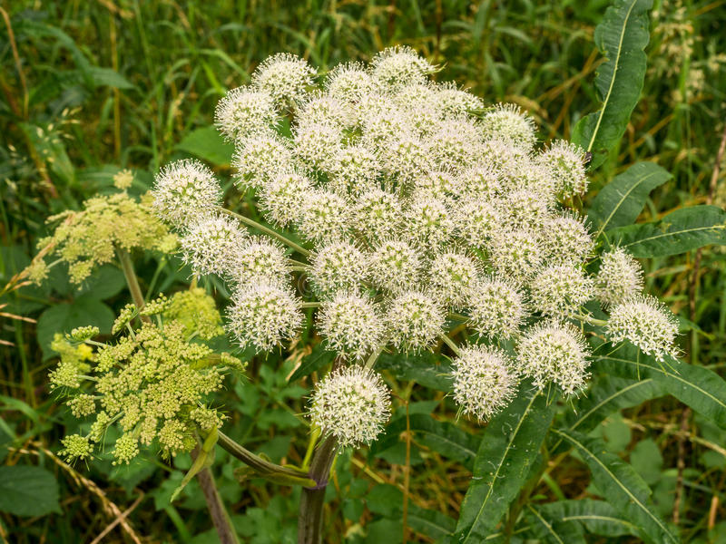Sweet angelica. In full bloom, Deep Hayes, Cheddleton, Staffordshire, UK stock photo