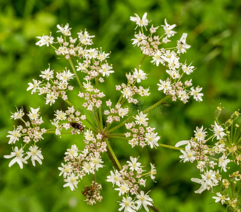 Sweet angelica. In full bloom, Styal country park, Styal, Cheshire, UK stock photography