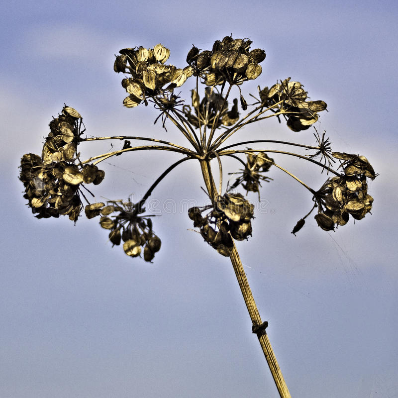 Sweet angelica. Seed head in autumn seen at Brockholes nature reserve, Preston, Lancashire, UK stock photography