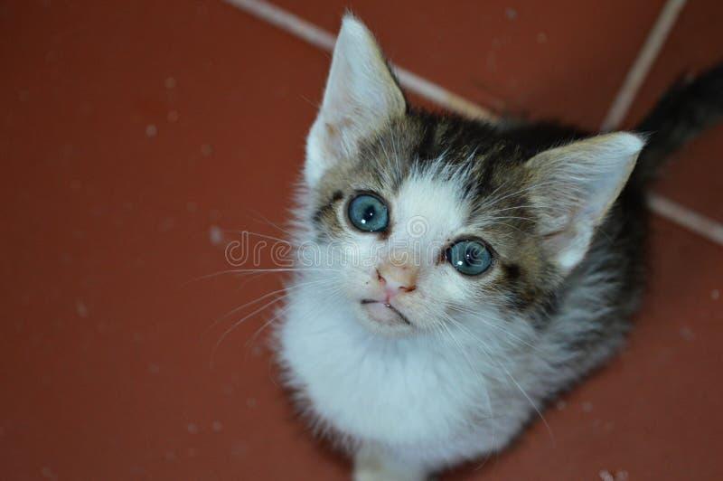 Sweet baby blue eyes cat royalty free stock photo