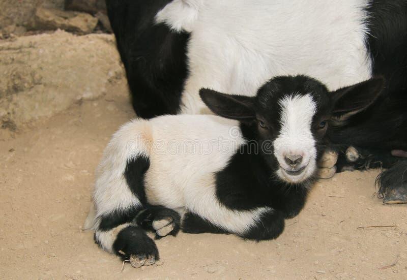 Sweet baby dwarf goat stock photography