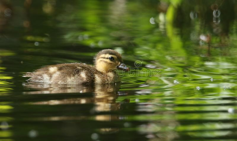 A cute baby Mandarin Duckling Aix galericulata swimming in a lake searching for food. A sweet baby Mandarin Duckling Aix galericulata swimming in a lake stock images