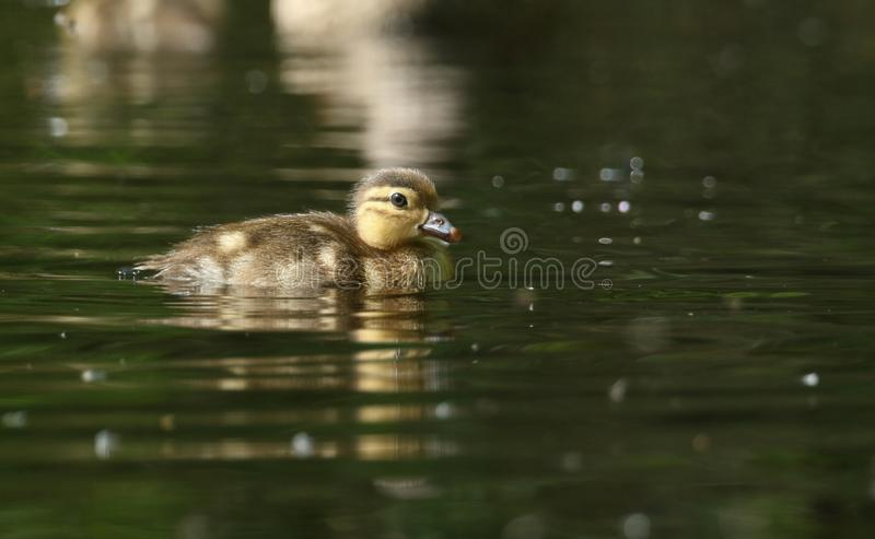 A cute baby Mandarin Duckling Aix galericulata swimming in a lake searching for food. A sweet baby Mandarin Duckling Aix galericulata swimming in a lake royalty free stock photography