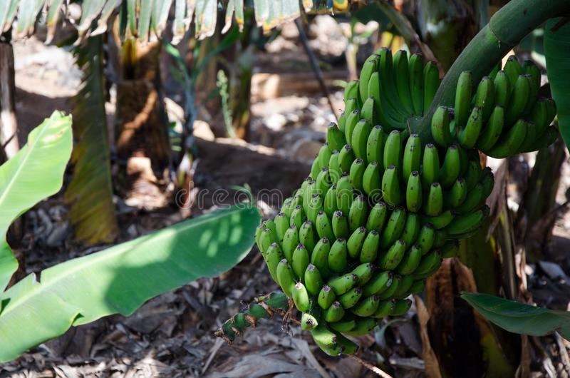 Sweet bananas stem Canary Islands tropical fruit farm royalty free stock image