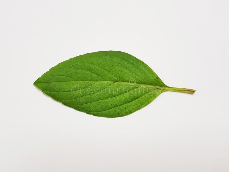 Sweet basil , Basil Asian herbs. stock images