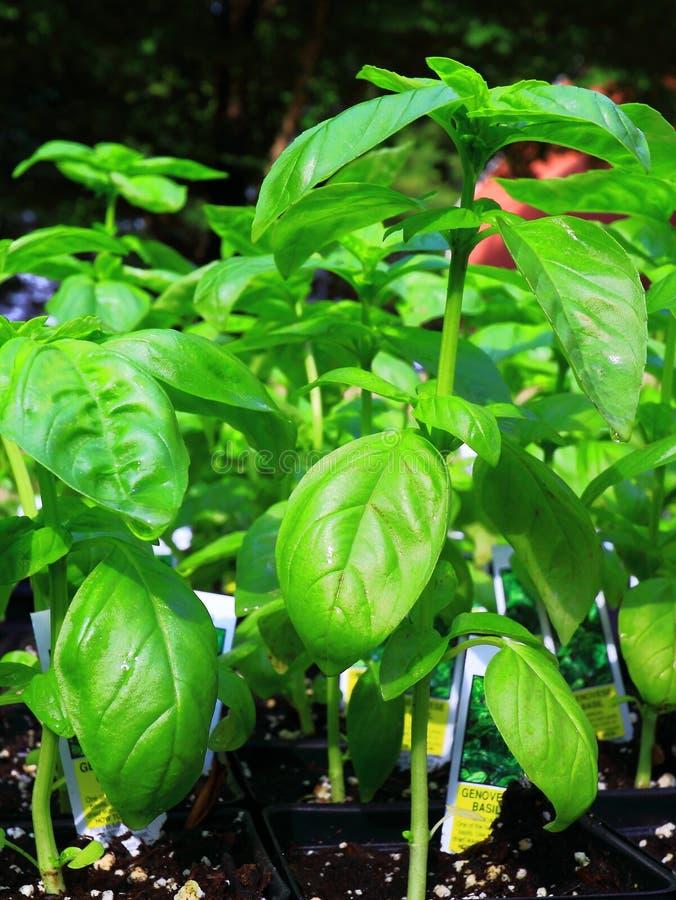 Sweet Basil. Edible Green Fresh sweet basil plants background stock image