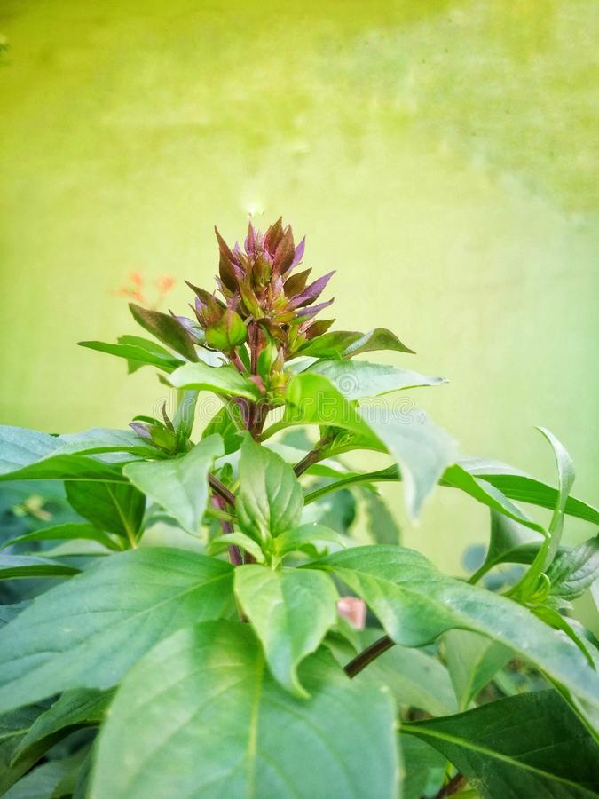 The sweet basil with the green background. stock images