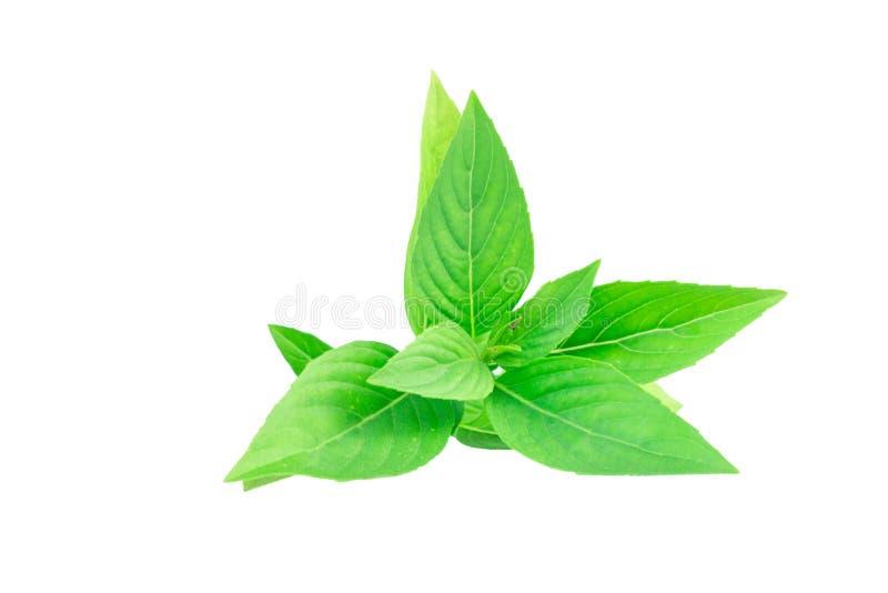 Sweet Basil isolated on white background stock image