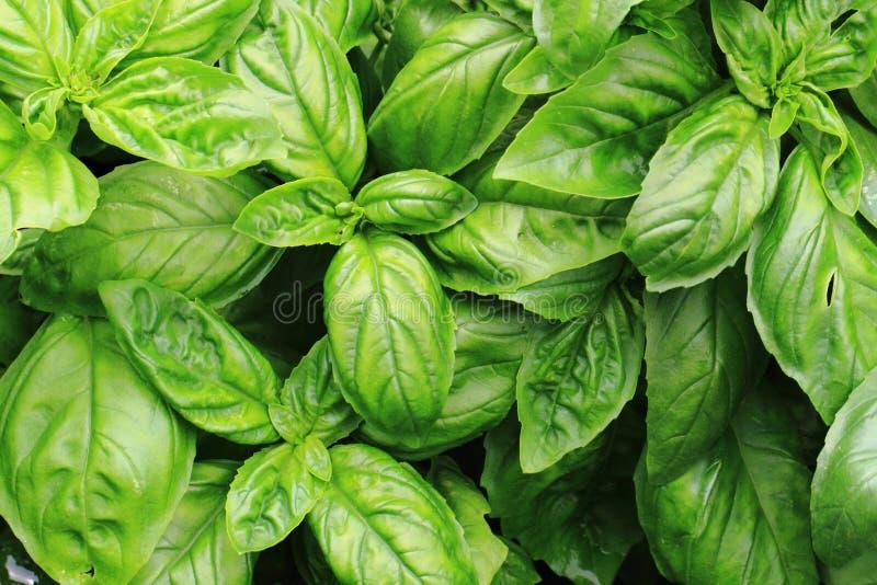 sweet basil leaves stock image
