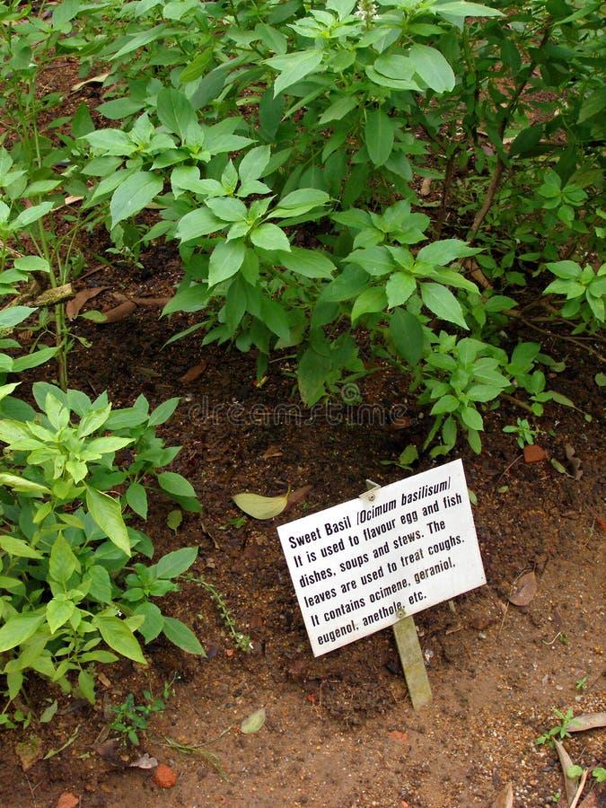 Sweet basil plant stock image