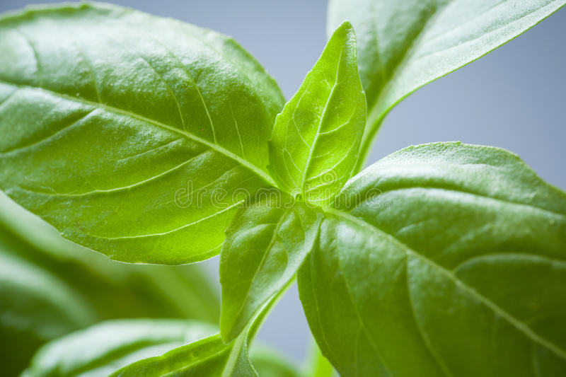 Sweet Basil Plant Closeup stock photo