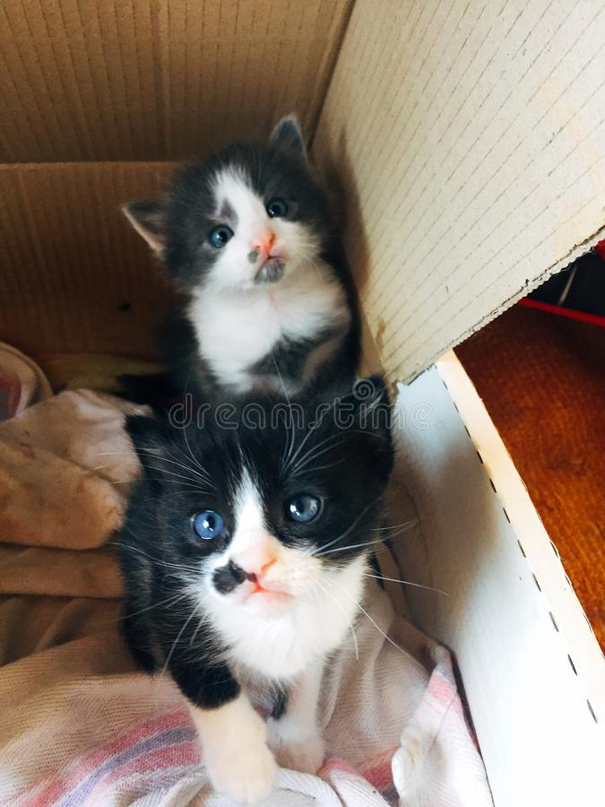 Sweet and beautiful Kittens. Two sweet and beautiful black and white and gray kittens one month old stock photo