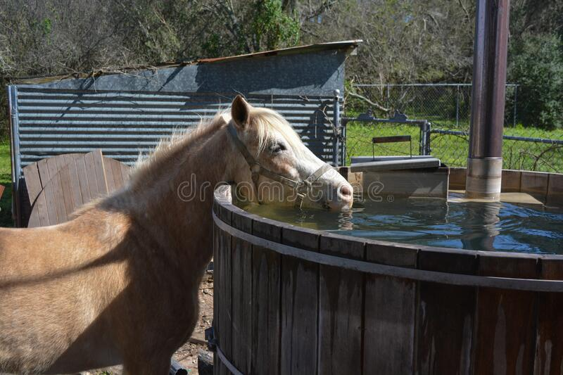 Funny pony drinks water from a hot tube, nice water and beautiful horse. Background of a farm in Texas royalty free stock image