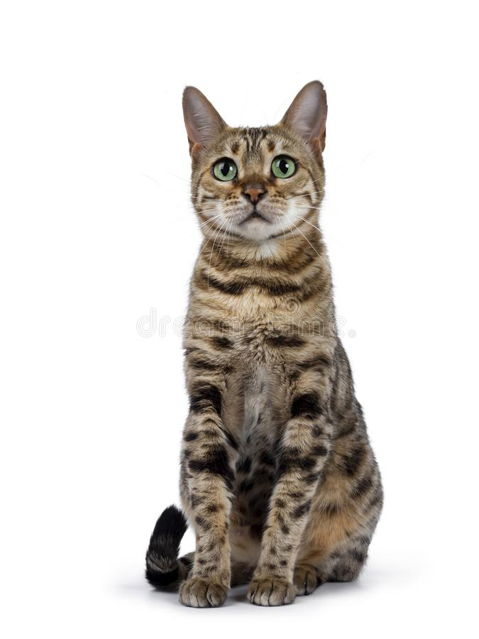 Sweet Bengal cat on white stock images