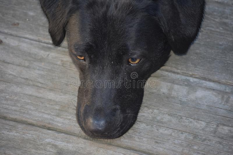 Sweet Black Lab Dog with His Chin Resting on a Deck stock photo