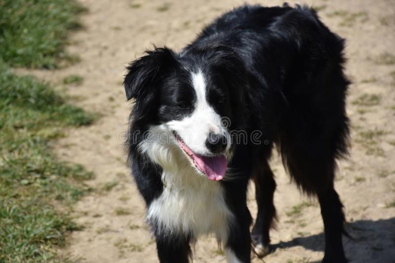 Sweet Black and White Border Collie Dog Standing in Sunshine stock images