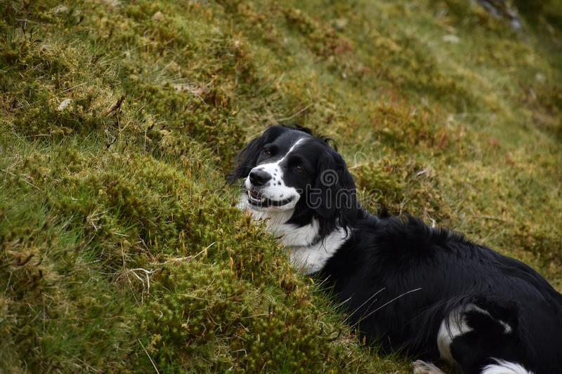 Sweet Black and White Border Collie Laying on a Hill stock image