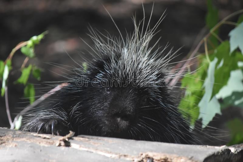 Sweet black and white quilled porcupine resting on a log royalty free stock photography