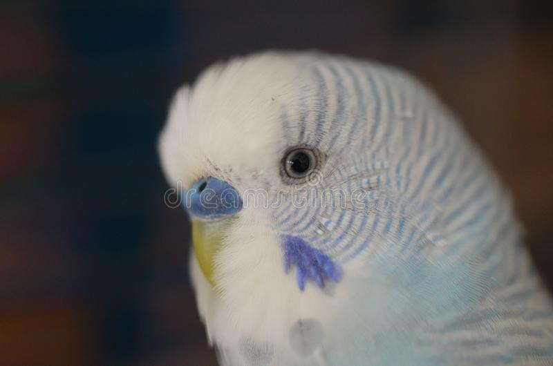 Sweet and blue/grey budgerigar stock images