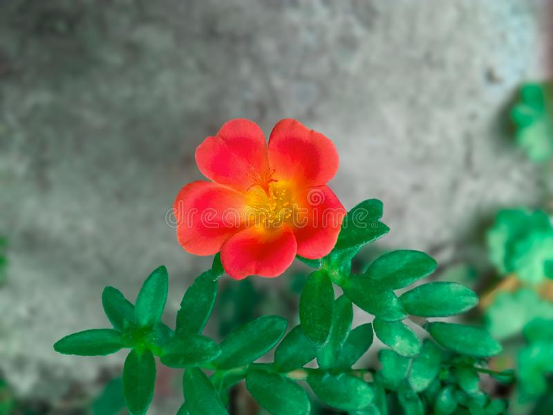 Sweet-Brier Flower Red Color stock images