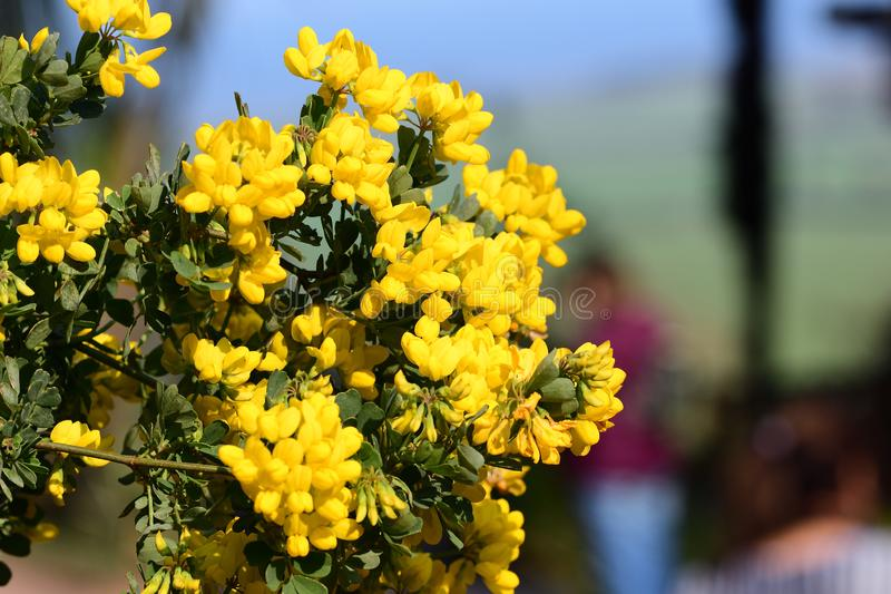 Sweet broom genista stenopetala royalty free stock images