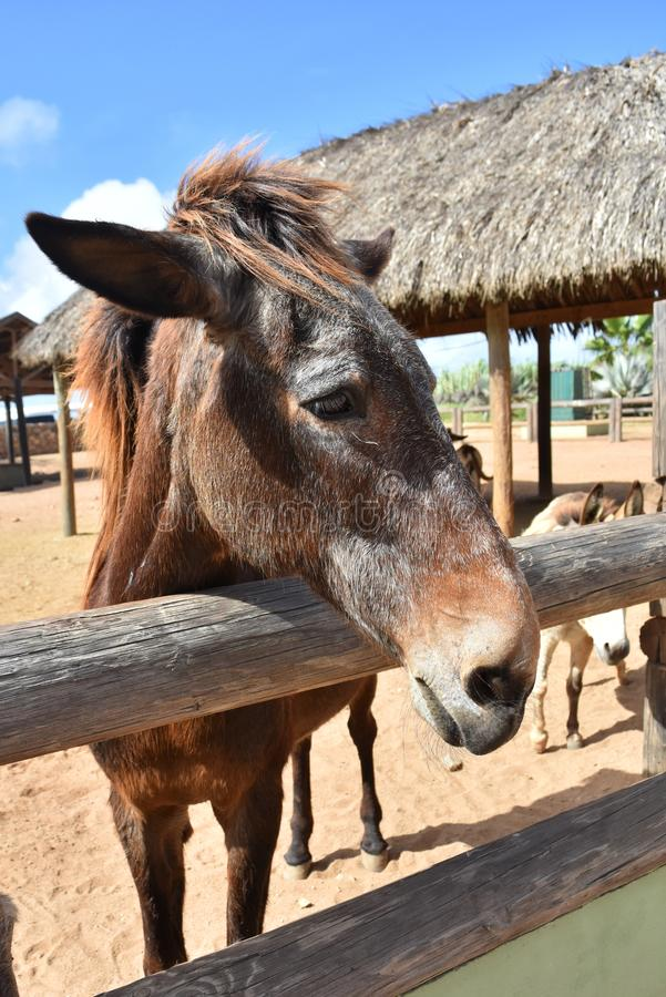 Sweet Brown and Gray Horse Standing at the Fence royalty free stock image