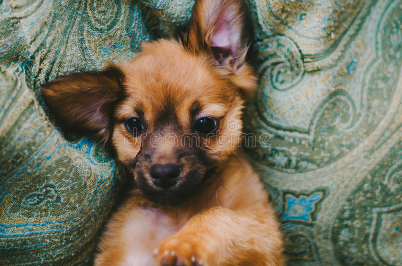 Sweet Brown Puppy. Sweet little puppy laying on dog bed royalty free stock images