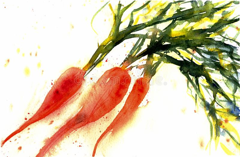 Sweet carrot brunch isolated on white background. Fresh. Vegetable with leaves. Watercolor sketch illustration/ Hand drawn painting. Vegetarian organic food royalty free illustration