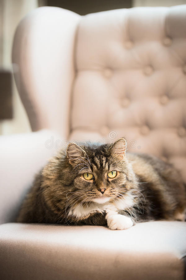 Free Sweet Cat Lies On Ears Armchair At Home And Looks Into The Camera Stock Photos - 75404153