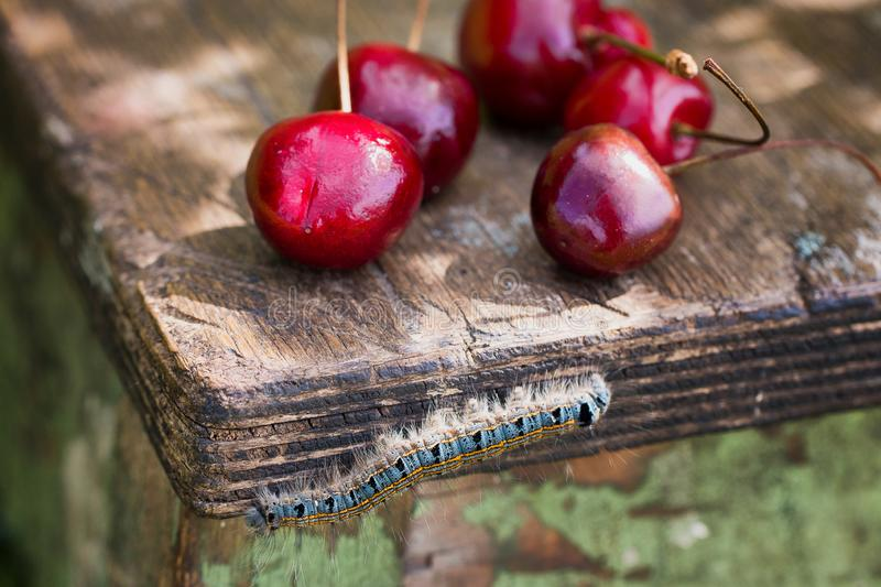 Sweet cherry berries and multi-colored  caterpillar on an old wooden table. Selective focus stock image