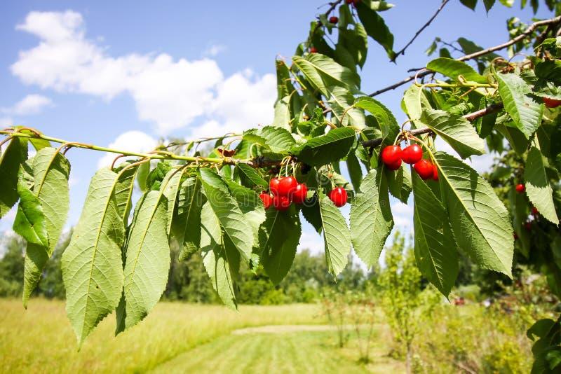 Sweet cherry fruits. Prunus avium plant. Ripe red berries on tree branch royalty free stock photo